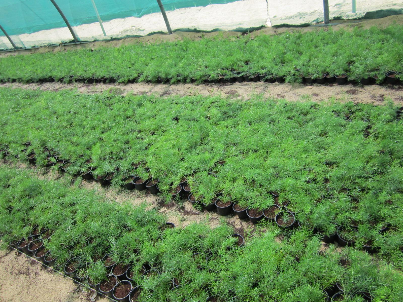 Asparagus 15-20cm Spread