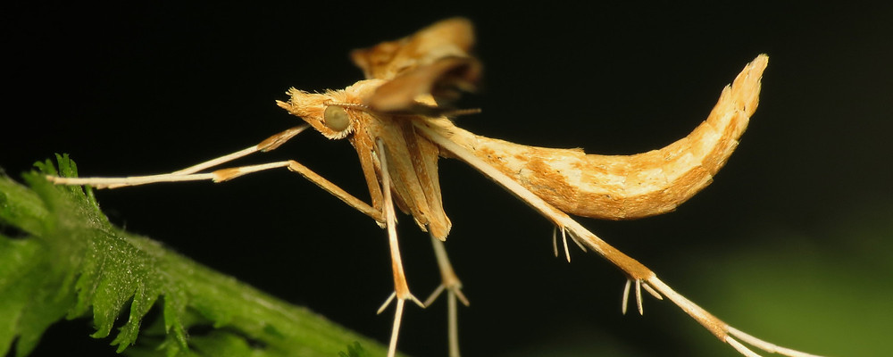 Gillmeria ochrodactyla