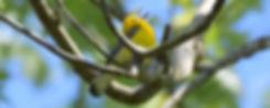 01-Protonotaria-citrea-andriy.jpg