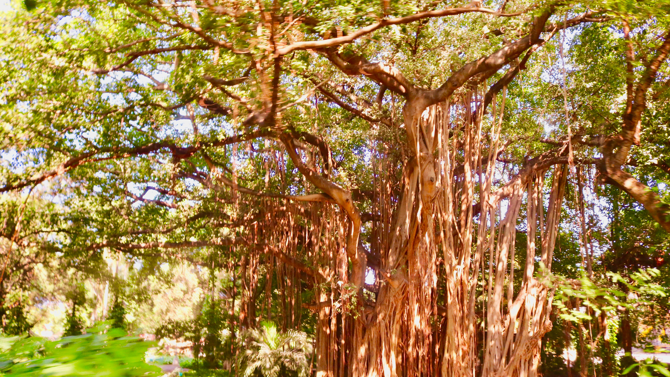 Large Banyan trees in the Havana Forest.