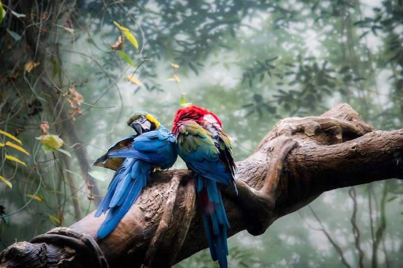 Two parrots on a tree limb in Costa Rica