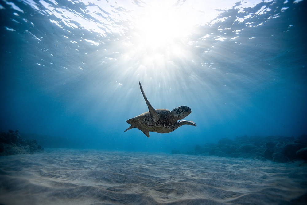 Sea turtle swimming in the Caribbean with the sun shining through the surface of the water.