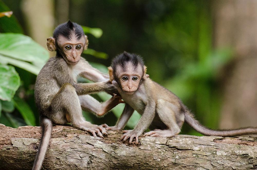 Two baby monkeys on a tree branch in Honduras.