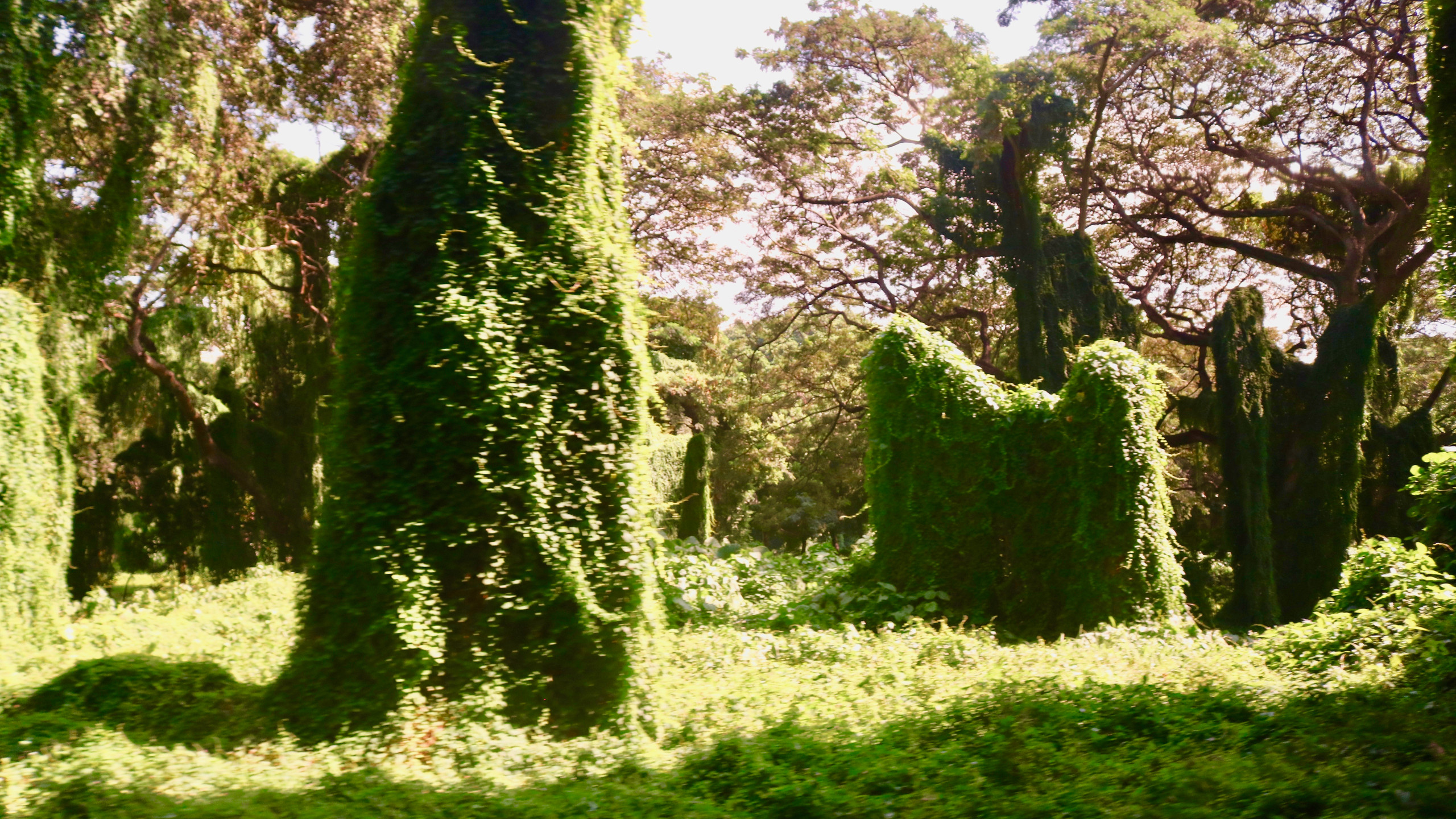 Vine-covered trees and shrubs in Havana Forest.
