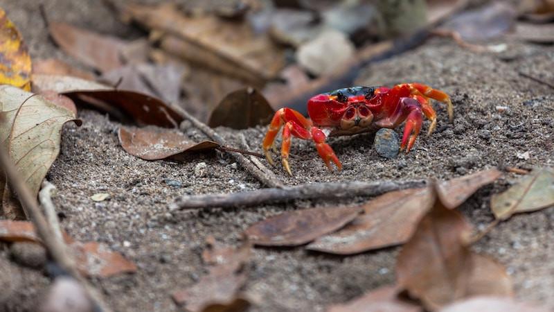 Crab on beach in Costa Rica Osa Peninsula