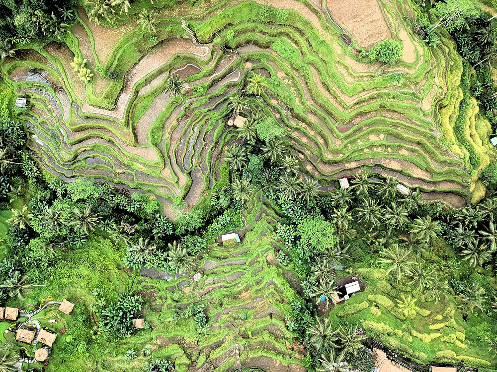 Aerial view of green rice fields in Ubud, Bali.