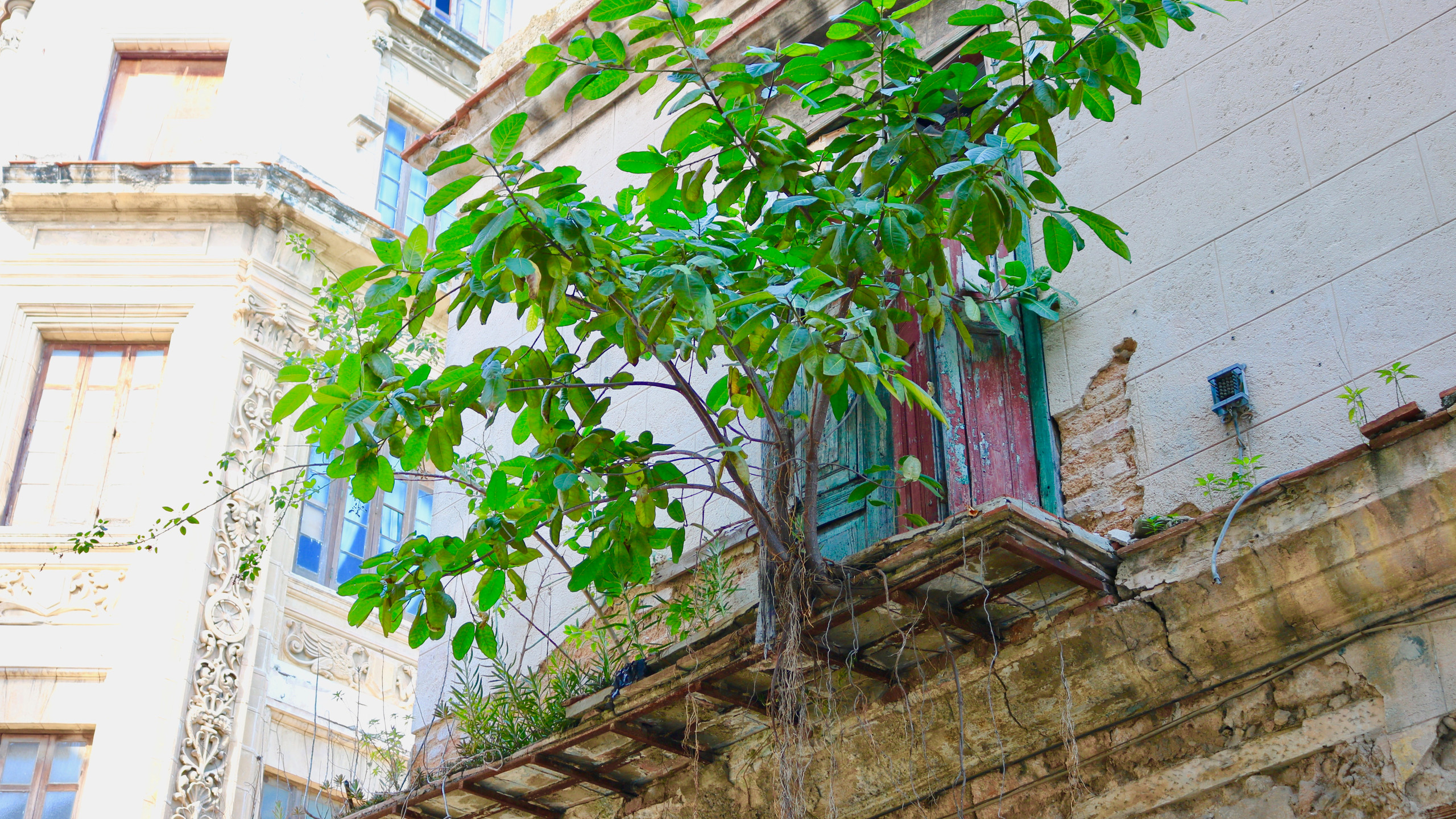 Crumbling balcony with a small tree growing on it in Old Havana.