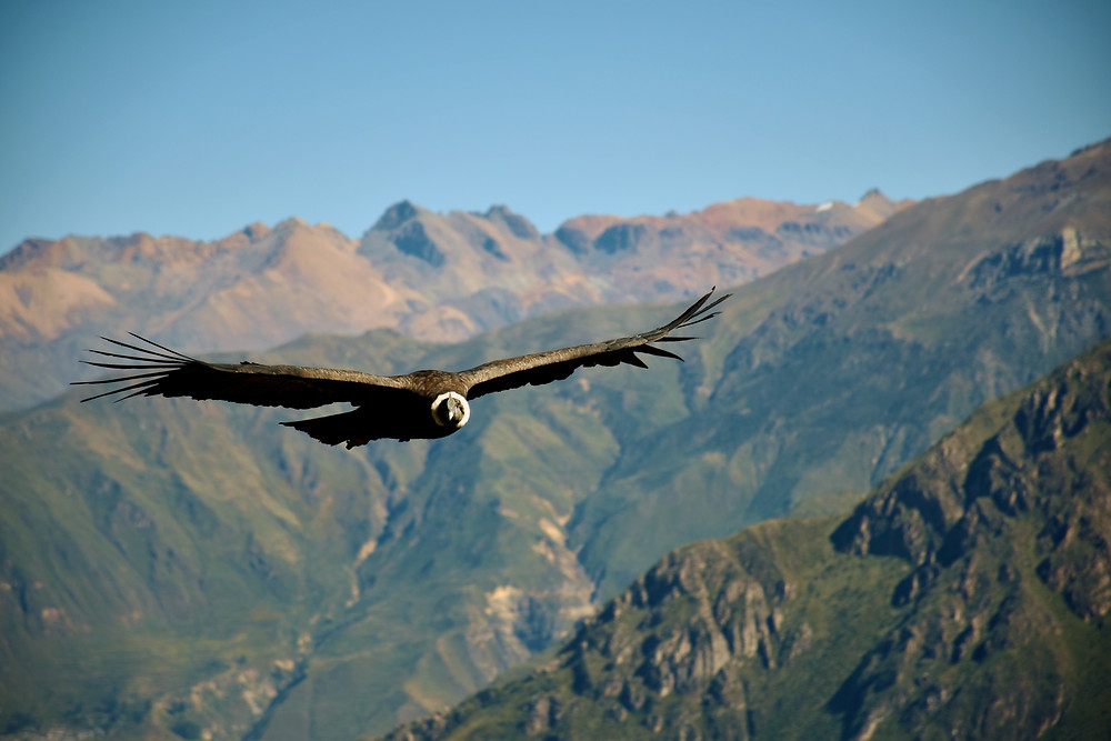 Condor flying through Colca Canyon and Arequipa in Peru.