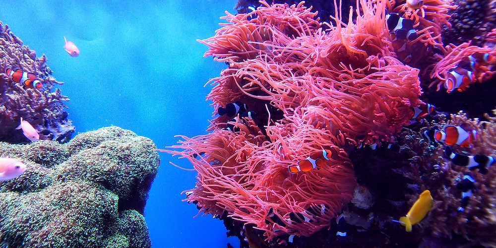 Pink and purple coral reef system with clownfish and blue water that has stayed alive because snorkelers practiced eco-tourism practices