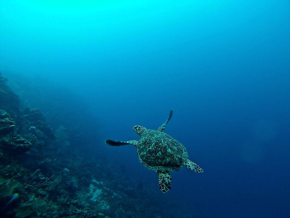 Sea turtle swimming in blue Caribbean water near Roatan's reef.