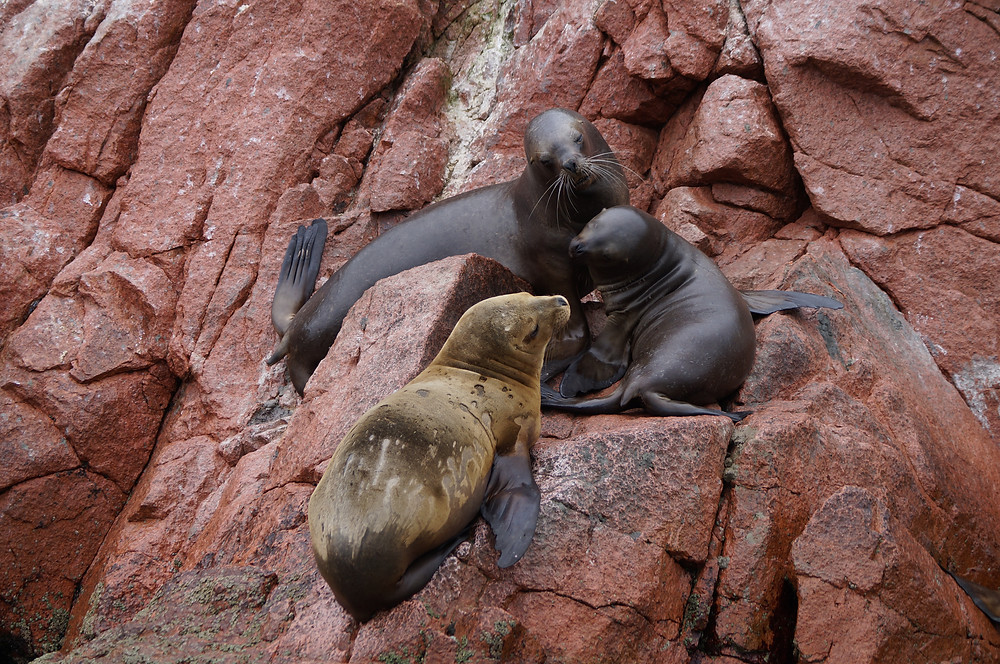Sea lions on a red rock at Ballestas Islands in Peru.