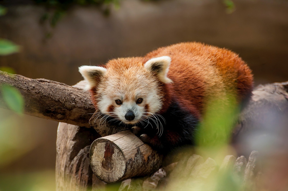 Red panda resting on a log in the Woodland Park Zoo in Seattle.