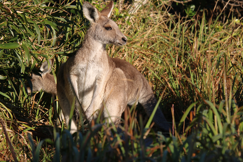 Wallabies at Woody Heads on the East Coast of Australia