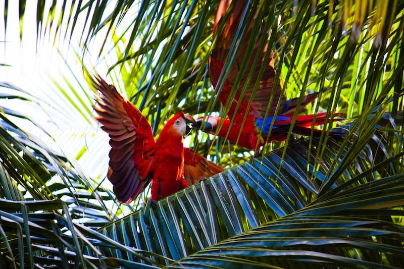 Parrots in Costa Rica jungle
