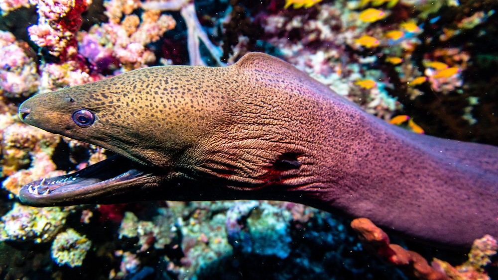 Eel with its mouth open underwater near bright coral.