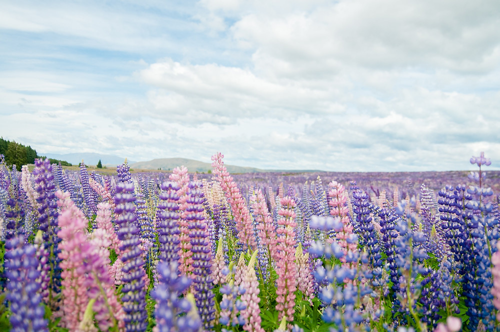 Close-up view of purple lupins at Lake Tekapo.