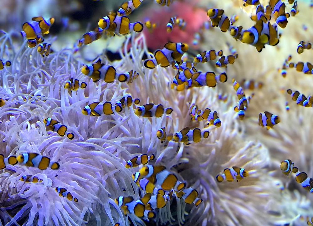 Clownfish in an aquarium.