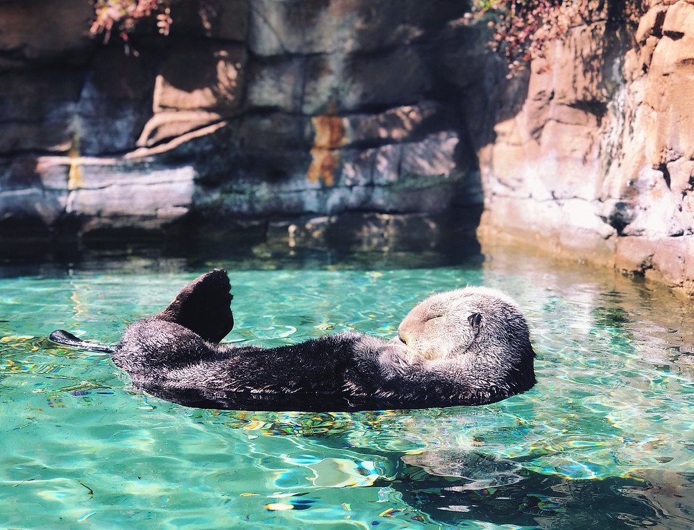 Sleeping otter floating on its back at the Seattle Aquarium.
