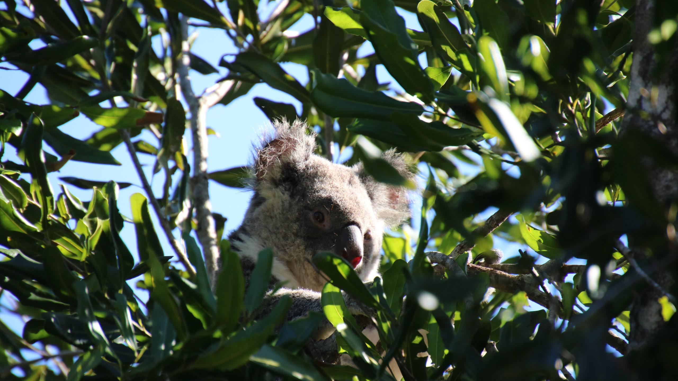 Koala in a tree at the Australia Zoo.
