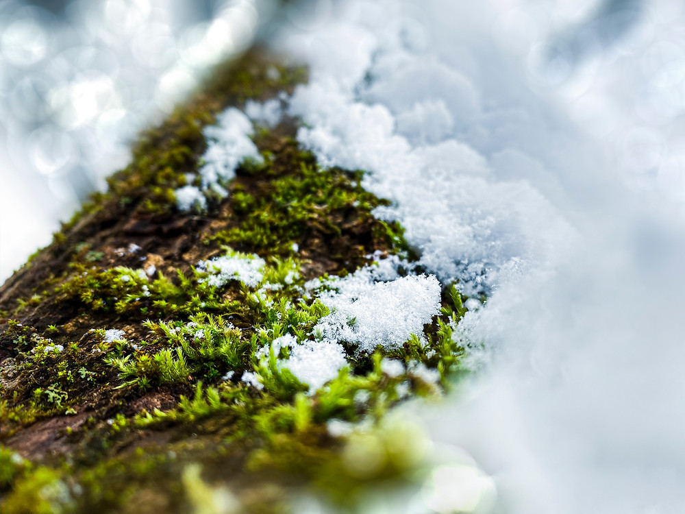Bright green moss on snowy log.
