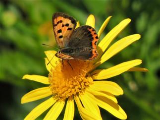 Papillon cuivré ( kouevrig bihan)