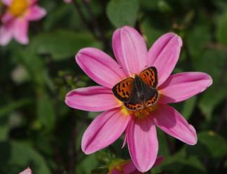 Cuivré sur une fleur de dalhia.