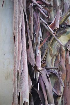 Changer de peau ... comme l'eucalyptus.