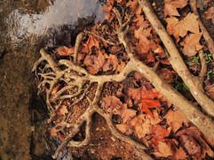 Racines s'étirant vers l'eau. Les Pennes-Mirabeau (13)