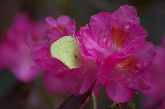 Un citron ( sitronig an evor) dans une fleur de rhodo à peine ouverte