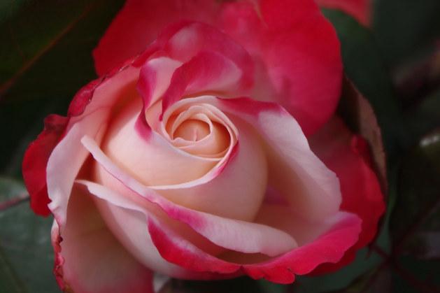 Au coeur des roses