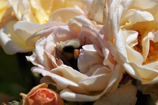 Dans la rose: le bourdon!