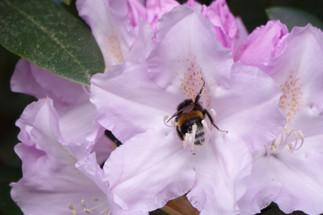 Azalée mollis et abeille