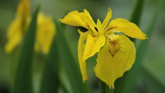 Iris d'eau au bord du canal de Nnates à Brest