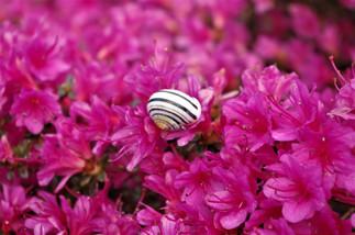Minuscule escargot sur une grande azalée.