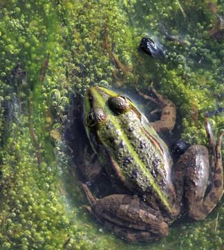 A peine visible dans l'eau de l'étang . Le mimétisme est un art...