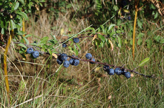 Branche de prunelier.