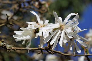 Magnolia, un de mes arbustes préférés!