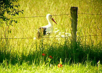 Les cigognes font partie des 250 especes d'oiseaux que l'on rencontre autour de l'etang de Lindre