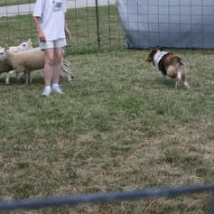 Sheep4.JPG
