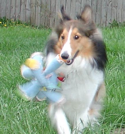 Can you have a Sheltie in an apartment?  How much exercise is required?