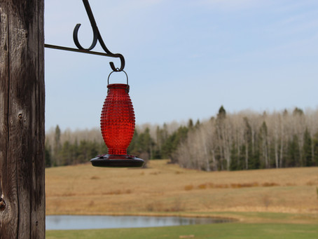 Hummingbirds - Nature's Cheeky Little Devils