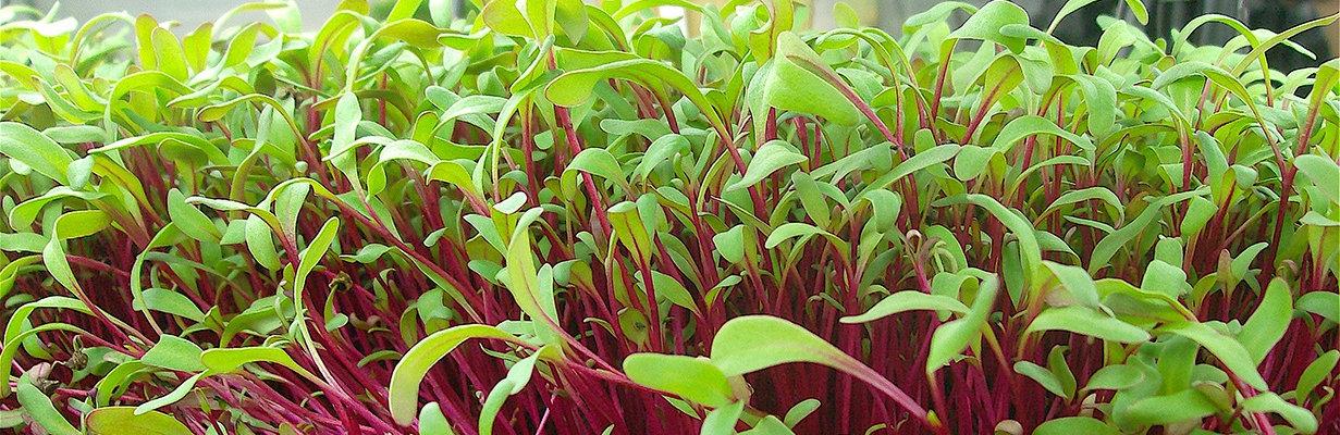 microogreens-red beet.jpg