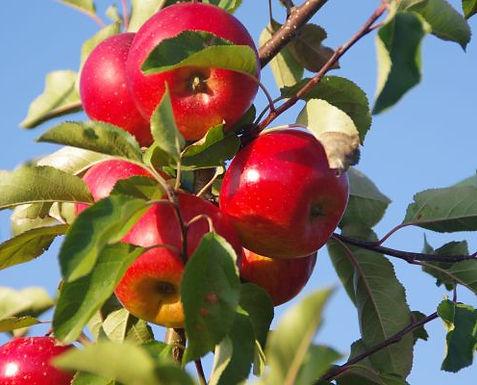 Am Brunner Berg reifen unsere Bio Äpfel.