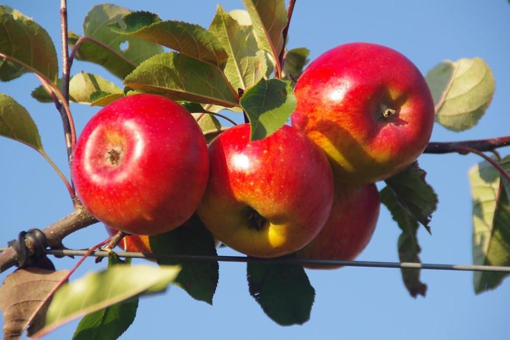 Bio-Äpfel Topaz