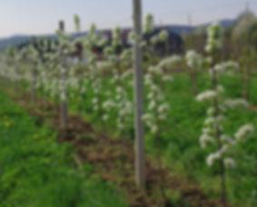 In strahlendem Weiß blühen unsere Birnenbäume am Brunner Berg nahe Wien.