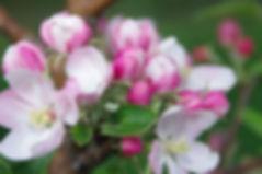 Unser Bio Äpfel reifen auf rund 2 ha am Brunne Berg.