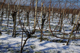 Weingarten im Winter