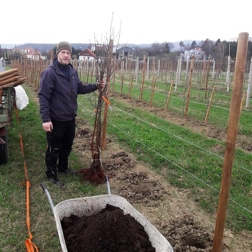 Unsere jungen Apfelbäume wurden unlängst eingepflanzt.