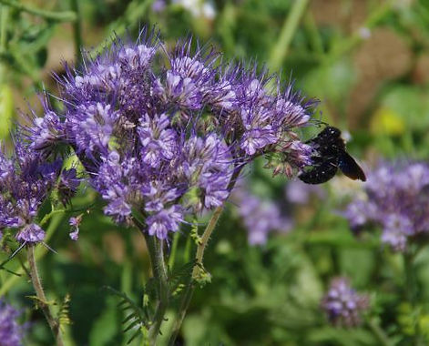 Auf unserer Obstplantage haben wir eine Begrünung speziell für Bienen angebaut.