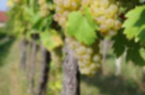 Ein Teil unserer Weißweine wächst in der Riede Goltruhe.